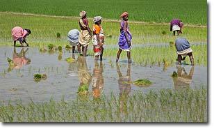 rice-in-india
